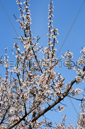 Close up white apricot cherry tree blossom over clear blue sky, low angle view