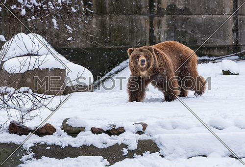 Brown  grizzly bear walking  on the snow background