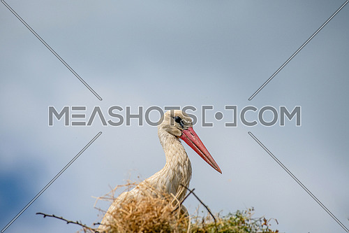 White stork (Ciconia ciconia) Large bird with black and white plumage and big red beak staying in huge stick nest.