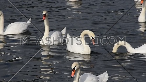 Close up group of several beautiful white swans swim, float and row in water with waves and ripples, low angle view