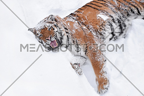 Close up one young female Amur (Siberian) tiger playing and rolling in fresh white snow sunny winter day, high angle view