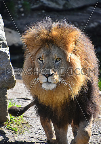 Close up portrait of cute male African lion with beautiful mane, walking alerted and looking at camera, low angle view