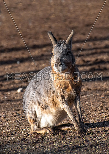 Patagonian mara (Dolichotis patagonum) is a relatively large rodent in the mara genus (Dolichotis). It is also known as the Patagonian cavy