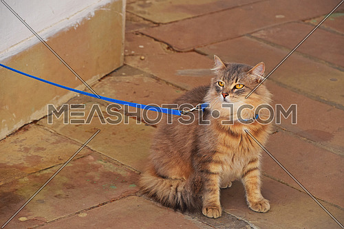 Close up front portrait of one ginger colored domestic cat on a leash, looking at camera, low angle view