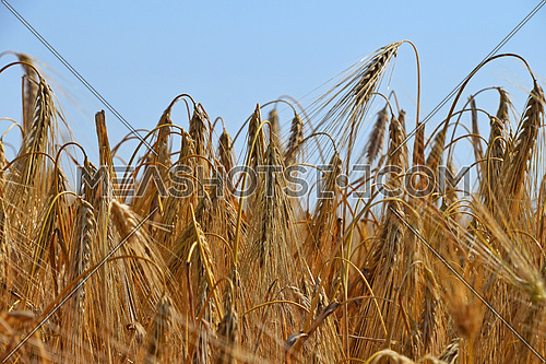 Close up field of ripe wheat under clear blue sky, low angle view