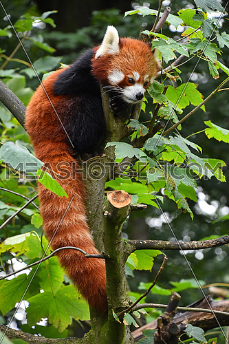 Close up portrait of one cute red panda on green tree, looking away, low angle view