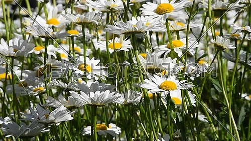 Close up white garden chamomile daisy (Matricaria) flowers shaking in the wind over green background, low angle view