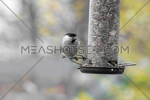 Marsh tit (Poecile palustris)  taking nuts from bird feeder