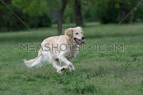 Golden Retriever running. Selective focus on the dog