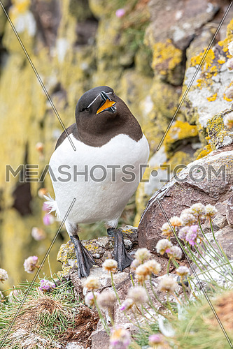 Razorbills (Alca torda)  on the cliff edge on the Isle of May