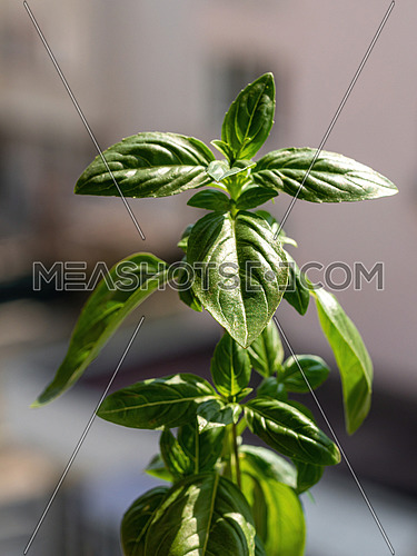 Organic basil herb close up. Ocimum basilicum