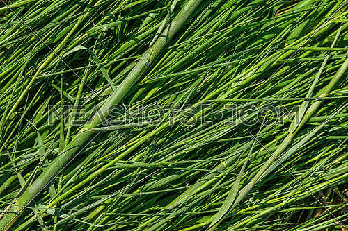 green bamboo grass stems and leaves