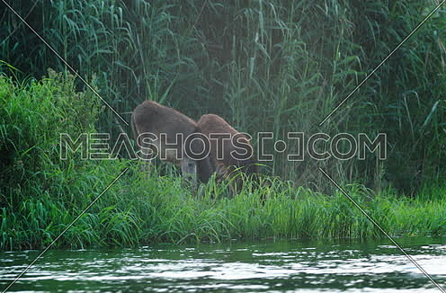 Follow shot for two Brown donkeys eating grass at field beside River Nile
