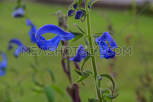 a closeup for a blue flower in a garden