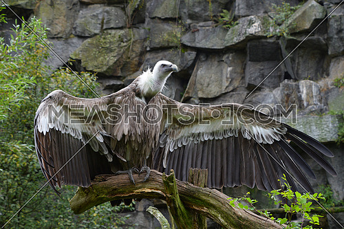 Close up full length profile portrait of Eurasian griffon vulture (Gyps fulvus) with wings wide spread, low angle front view
