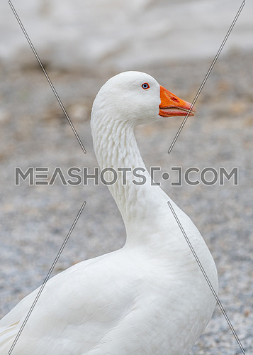Goose standing near a pond in a summer forest