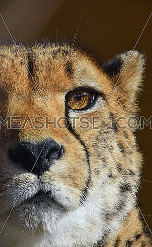 Extreme close up portrait of cheetah (Acinonyx jubatus) looking at camera, low angle view