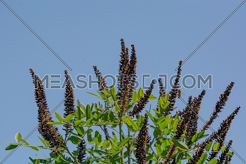 Amorpha fruticosa or desert false indigo false indigo-bush and bastard indigobush purple flowers close-up. Honey and medicinal plants in Europe.