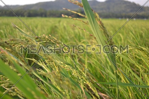 Rice With Green Leaves In The Rice Field When Exposed To Sunlight With Landscape Background