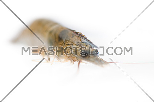 raw fresh alive shrimp ,macro,extreme closeup isolated over white background
