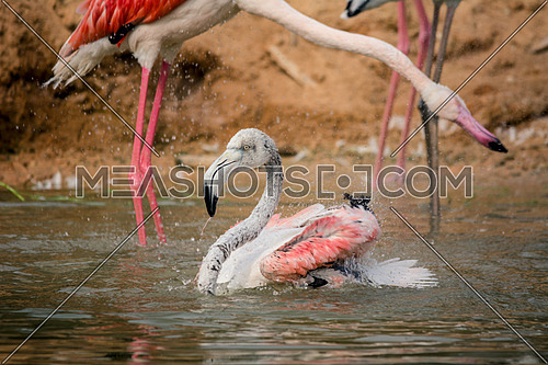 two Flamingos in the water