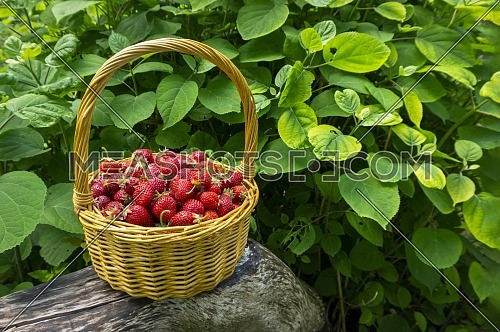 Rustic wicker basket with juicy ripe strawberries in a side view
