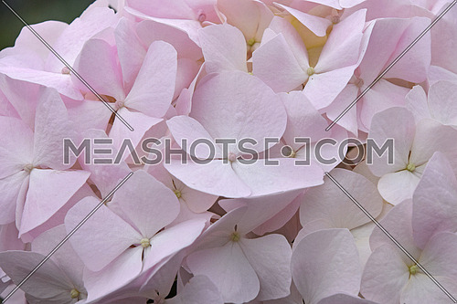 Close up fresh white pink hydrangea or hortensia flowers