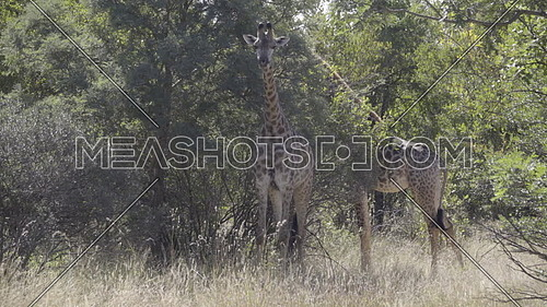 Scene of two giraffe standing in the shade