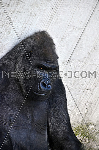 One male gorilla in zoo, sitting, close up portrait looking at camera