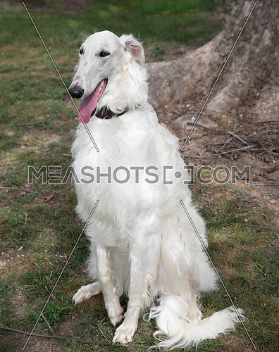 Borzoi Russian white. The Borzoi Russian dog  sitting on the green grass. Selective focus on the dog