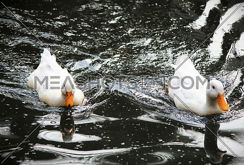 two Ducks swimming together in water
