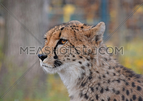Close up side profile portrait of cheetah (Acinonyx jubatus) looking away from camera, low angle view