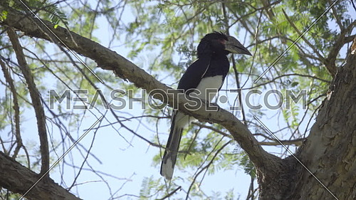Scene of a large Trumpeter Hornbill looking around