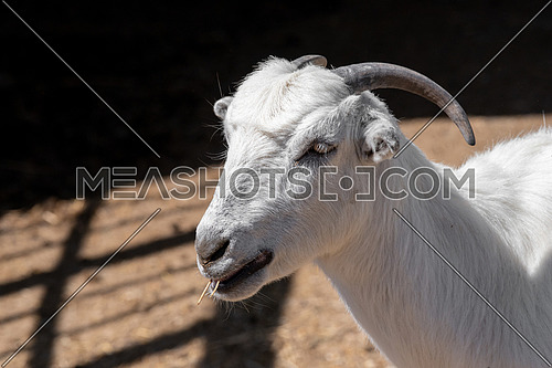The domestic goat (Capra aegagrus hircus (Capra Domesticus) is a subspecies of goat domesticated from the wild goat of southwest Asia and Eastern Europe.