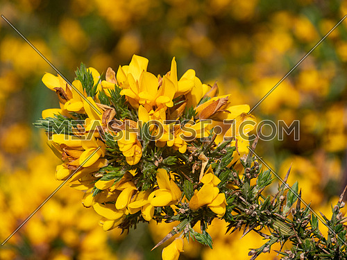 Flowering common gorse (Ulex europaeus) - a spiky thorn covered plant with bright yellow flowers