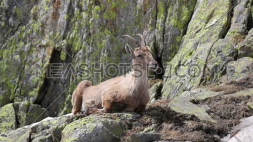 Ibex, Capra Ibex, laying and chewing on high mountain cliffs
