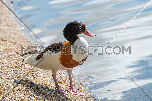 Close up view of Common shelduck (Tadorna tadorna)