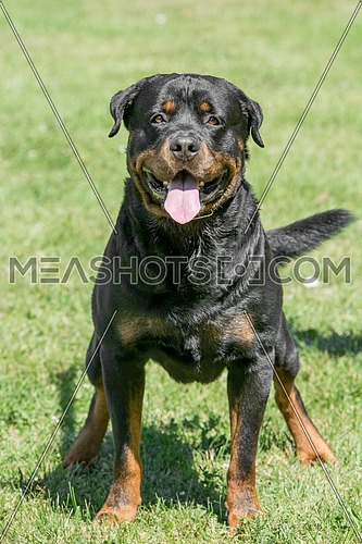 cCose -up head shot of Rottweiler .selective focus