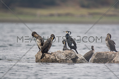 A group of Great Cormorant Birds