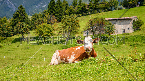 Brown white cow on a mountain sitting in italian alps.