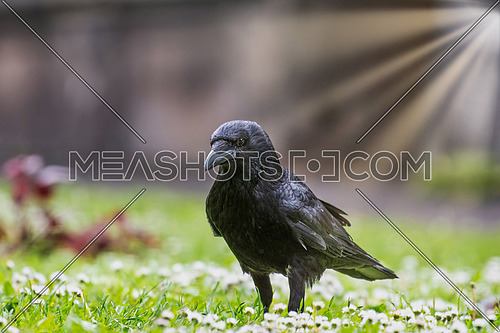 Black Carrion Crow (Corvus corone) looking for food at park.
