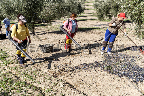 Jaen, Spain - yanuary 2008, 23: Agricultural women during the olive compilation campaign, glass-blowers handle machines to accumulate the fruit in heaps, take in Jaen, Spain