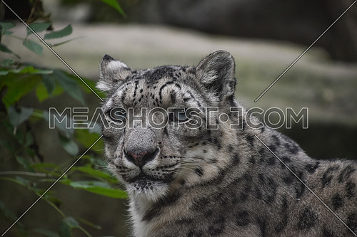 Close up front portrait of snow leopard (ounce, Panthera uncia) looking at camera, low angle view