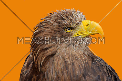 Close up profile portrait of one white-tailed sea eagle (Haliaeetus albicilla) looking at camera over yellow orange background, low angle side view