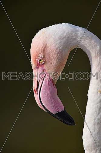 Close up side profile portrait of pink flamingo, head with beak, over green background of water, low angle view