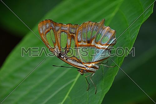 Close up side profile portrait of one beautiful big vivid green and brown tropical rainforest butterfly with folded wings sitting on leaf, low angle view