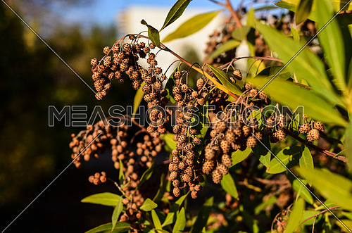 A close up on a plant tree with brown seeds coming out of it