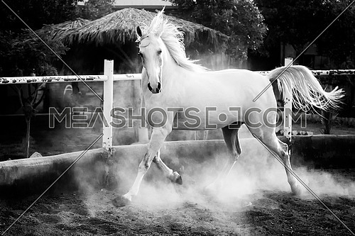 a strong white horse galloping inside a ranch in black and white