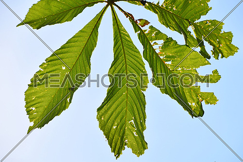 Green springtime horse chestnut (Aesculus hippocastanum) leaves damaged by diseases or insect pest, blast invaders, close up over clear blue sky