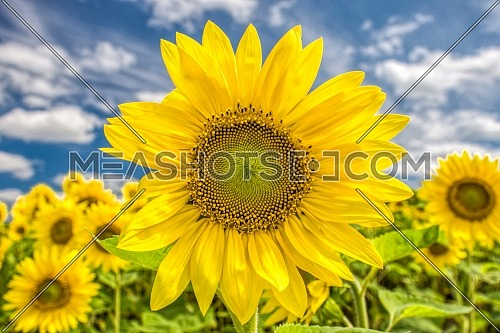 Sunflowers background and blue cloudy sky. Landscape with sunflower field over cloudy sky